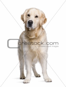 Golden Retriever, 3 years old, standing in front of white backgr