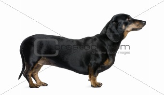 Dachshund, 6 years old, standing in front of white background, s