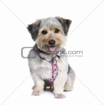 Cross Breed dog, 4 years old, in front of white background, stud