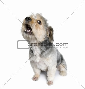 Cross Breed dog barking, 4 years old, in front of white backgrou