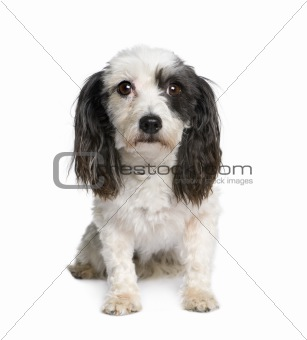 Harvanese Bichon, 4 years old, in front of white background, stu