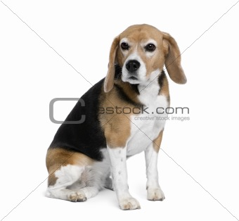 Beagle, 7 years old, sitting in front of white background, studi