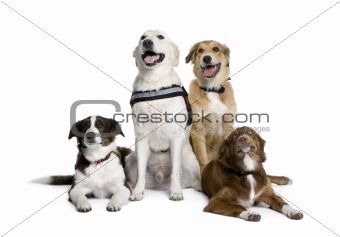 Group of bastard dogs sitting in front of white background, stud