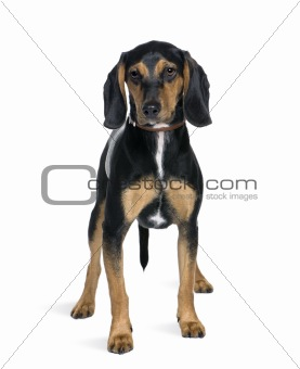 Cross breed with a Beagle, 8 months old, standing in front of wh