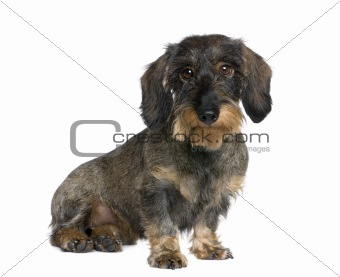 Dachshund, 2 years old, sitting in front of white background, st