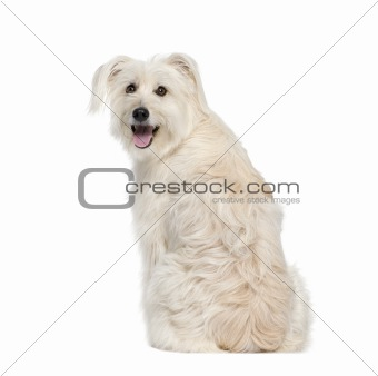 back view of a Pyrenean Shepherd, 2 years old, sitting in front