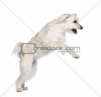Pyrenean Shepherd, 2 years old, leaping in front of white backgr