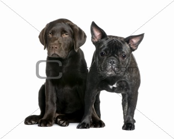 French Bulldog, 1 year old, and Labrador puppy, 10 weeks old, si