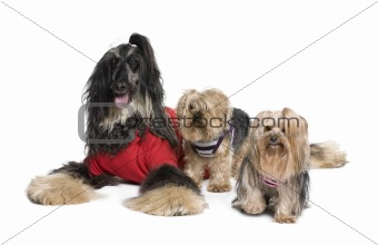 Afghan Hound and Yorkshire dogs sitting in front of white backgr