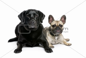 French Bulldog and Labrador sitting in front of white background
