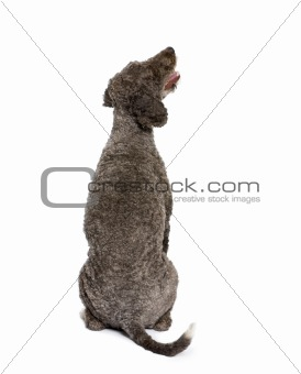back view of a Rear view of Spanish water spaniel dog, 3 years o