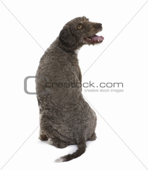 back view of a Spanish water spaniel dog, 3 years old, sitting i