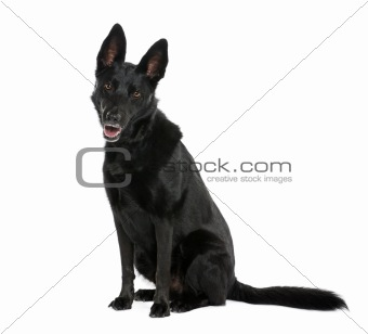 Bastard dog, 8 years old, sitting in front of white background,