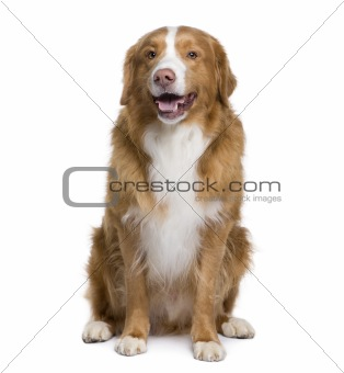 Bastard dog, 6 years old, sitting in front of white background,