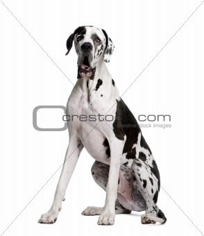 Arlequin Great Dane, 2 years old, sitting in front of white back