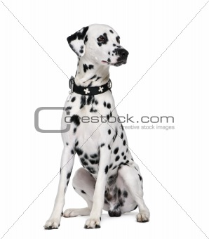 Dalmatian, 2 years old, sitting in front of white background, st