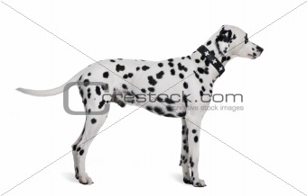 Dalmatian, 2 years old, standing in front of white background, s