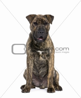 Mixed-breed dog, 4 months old, sitting in front of white backgro