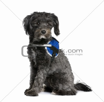Bastard dog, 2 years old, sitting in front of white background,