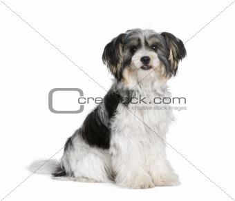 Bastard dog sitting in front of white background, studio shot