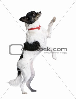 Bastard dog in red handkerchief walking on hind legs in front of