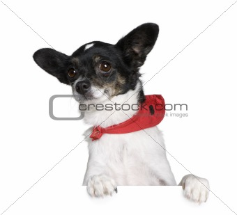 Bastard dog in red handkerchief sitting in front of white backgr