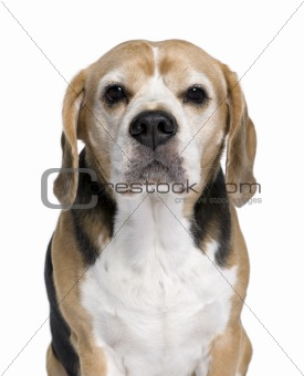 Beagle, 9 years old, sitting in front of white background, studi