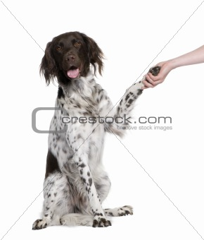Small Munsterlander dog shaking hands with person, 2 years old,