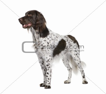 Small Munsterlander dog, 2 years old, standing in front of white