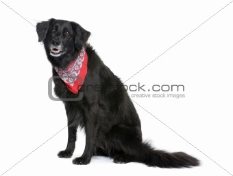 Bastard dog in red handkerchief, 7 years old, sitting in front o