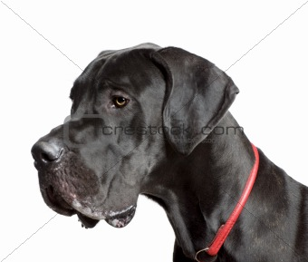 Great Dane, 11 months old, in front of white background, studio