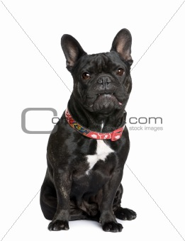 French bulldog, 5 years old, sitting in front of white backgroun