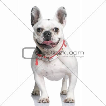 French Bulldog, 3 years old, standing in front of white backgrou