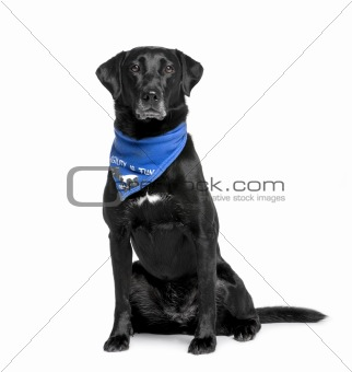 Bastard dog in handkerchief, 5 years old, sitting in front of wh