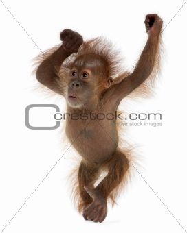 Baby Sumatran Orangutan, 4 months old, standing in front of whit