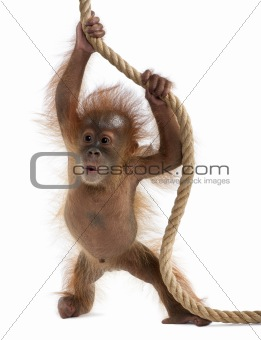Baby Sumatran Orangutan hanging on rope, 4 months old, in front