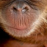 Close-up of baby Sumatran Orangutan's nose and mouth, 4 months o