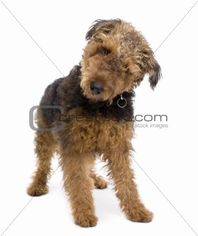 Airedale, 1 year old, standing in front of a white background, s