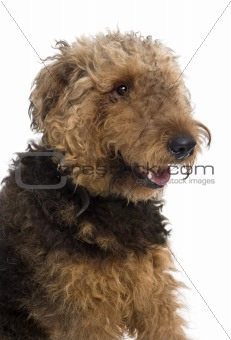 Airedale, 1 year old, sitting in front of a white background, st
