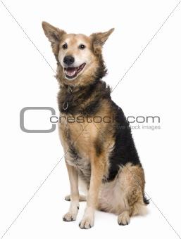 Cross-breed between a German Shepherd and a Scottish Shepherd, 9