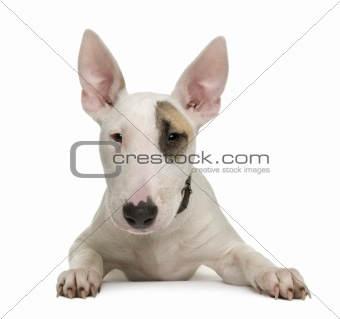 Bull Terrier puppy, 5 months old, in front of a white background