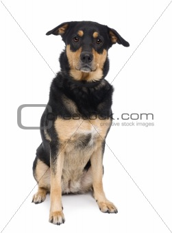 Bastard dog, 3 years old, sitting in front of a white background