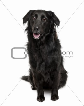 Cross-breed between a Labrador and a Australian Shepherd, sittin
