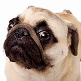A closeup of a pug