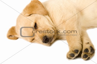 Sleeping Labrador retriever