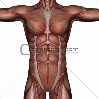 3D muscle of man