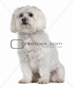 Old Maltese dog, 10 years old, sitting in front of white background, studio shot