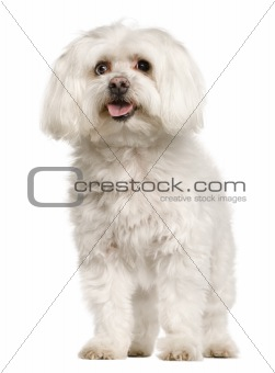 Old Maltese dog, 10 years old, standing in front of white background, studio shot