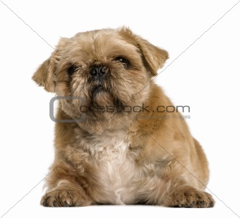 Crossbreed between a Pug and a Shih Tzu, 4 years old, sitting in front of white background