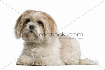 Shih Tzu, 1 year old, sitting in front of white background, studio shot